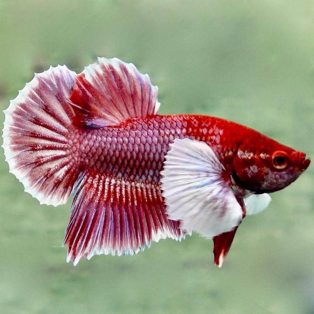Betta splendens siamesischer kampffisch weiblich for Kampffisch betta splendens