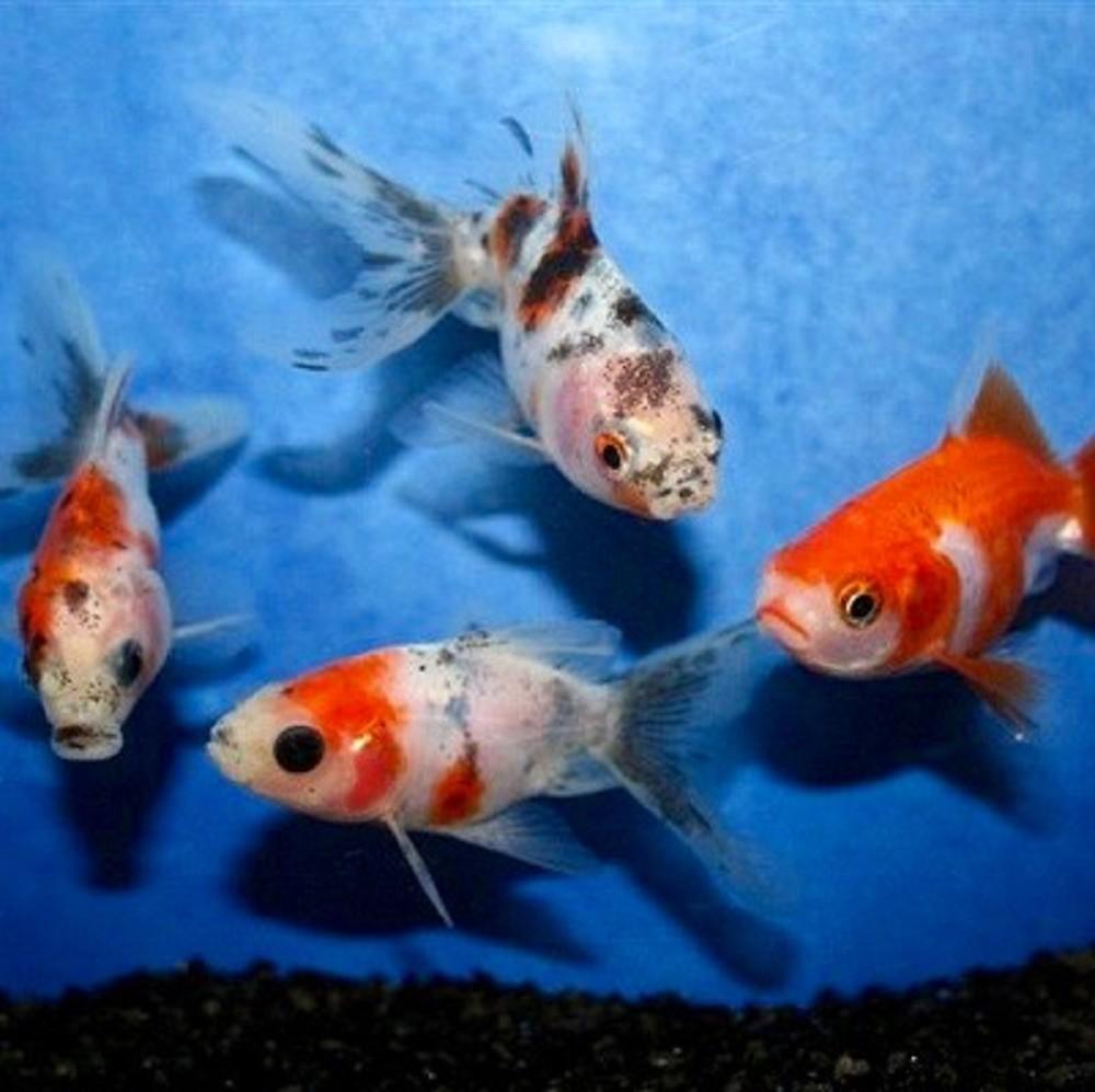 Carassius auratus mix schleier mix 10 12 cm for Nitrite aquarium poisson rouge