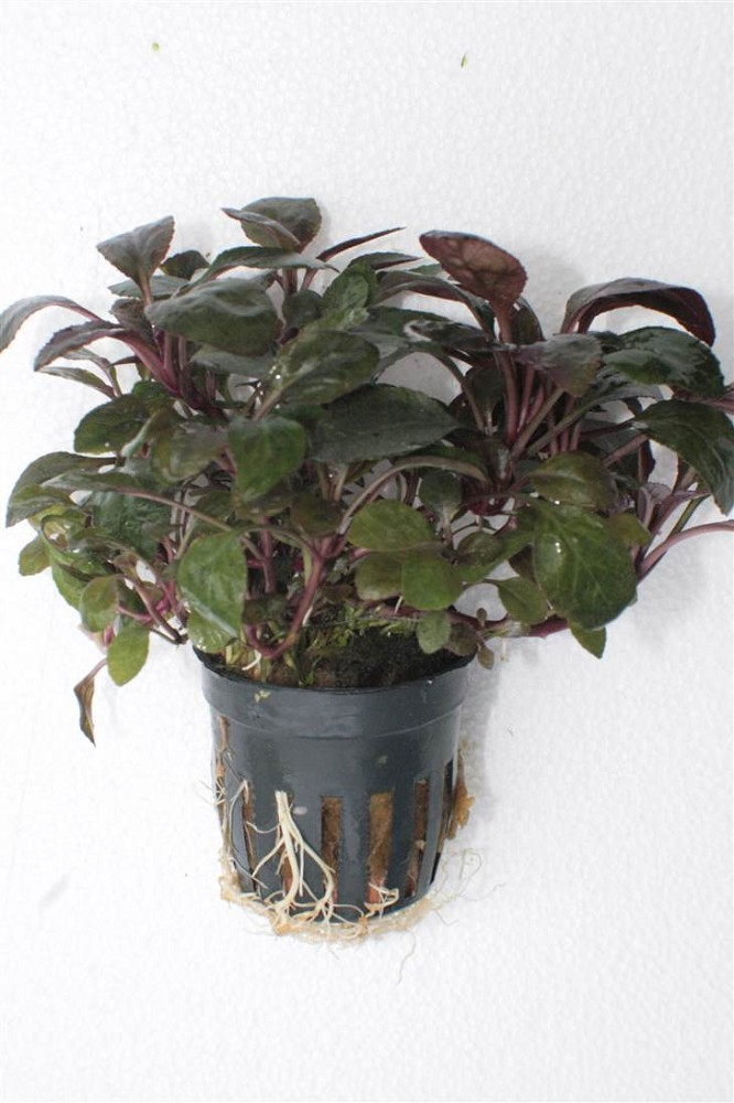 lobelia cardinalis mini in pot d 235 voorgrond jarathana. Black Bedroom Furniture Sets. Home Design Ideas