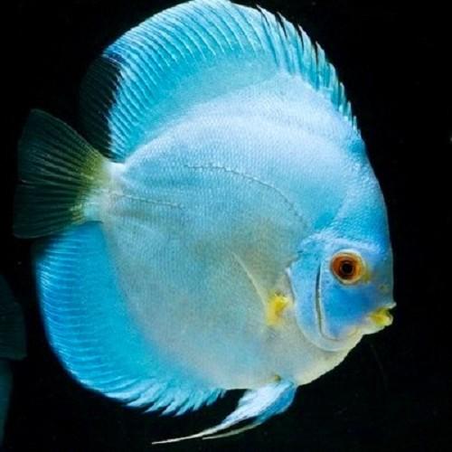 S.discus   Discus cobalt blue 6-7 cm