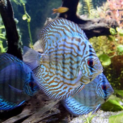 S.discus   Discus blue turquoise 12-15