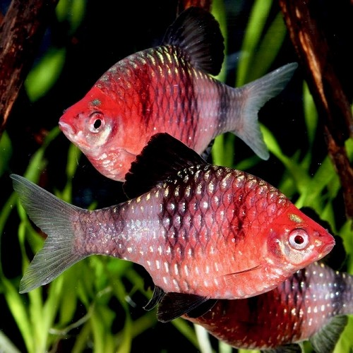 Barbus nigrofasciatus  Purperkop M
