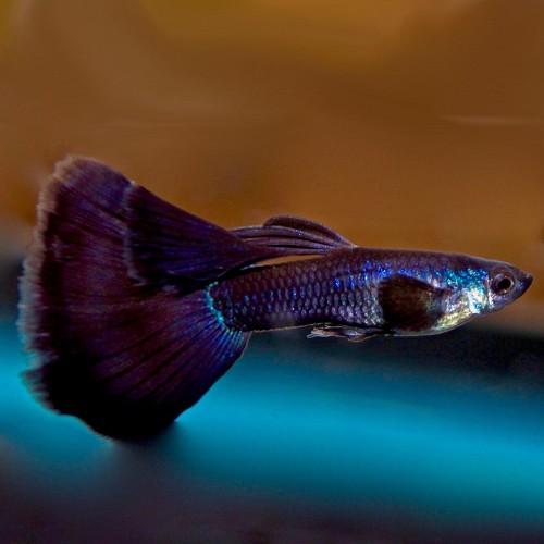 Poecilia.ret.   Black moscow guppy M