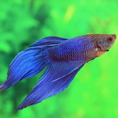 Betta splendens   Betta man blauw XL