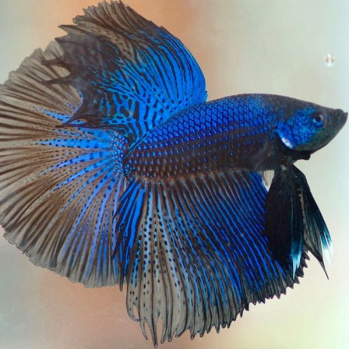 Betta splendens   Betta man Halfmoon XL