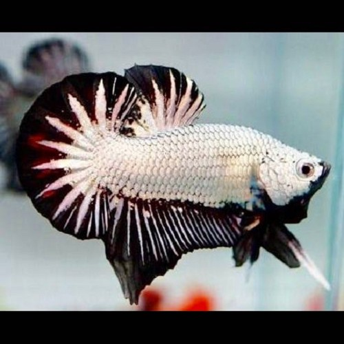 Black dragon plakat betta L