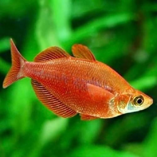 Glossolepis incisus   Rode regenboog M