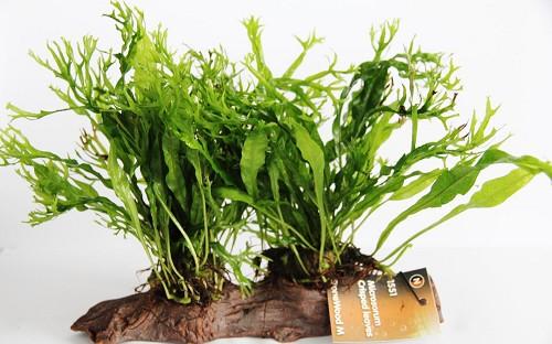 Microsorium crisped leaves stonewood (M)