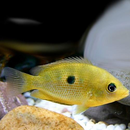 Etroplus maculatus gold M