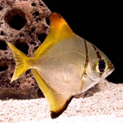 Monodactylus argenteus  Zilverbladvis  M