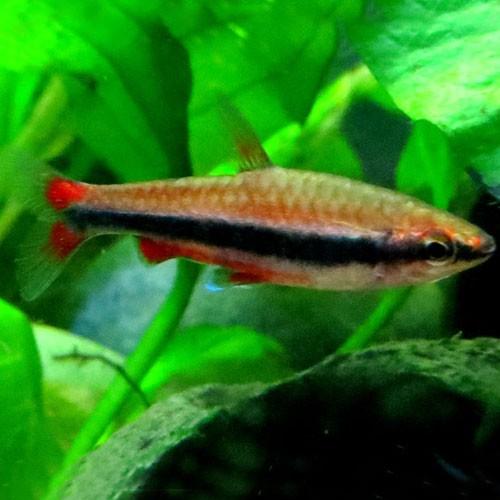 Nannostomus beckfordi   Spitszalm M