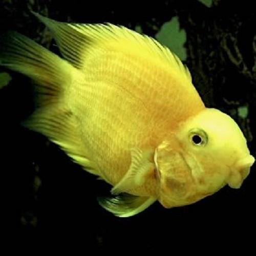 Cichlasoma specie   Yellow papegaai 6-8