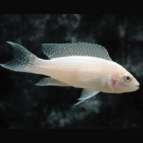 Lampr.brich. Pr.v.Burundi albino 5-6 cm