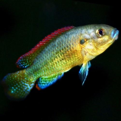 Pseudocrenilabrus multicolor 3-4 cm
