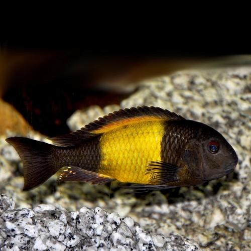 Tropheus moorii orange bemba 8-10