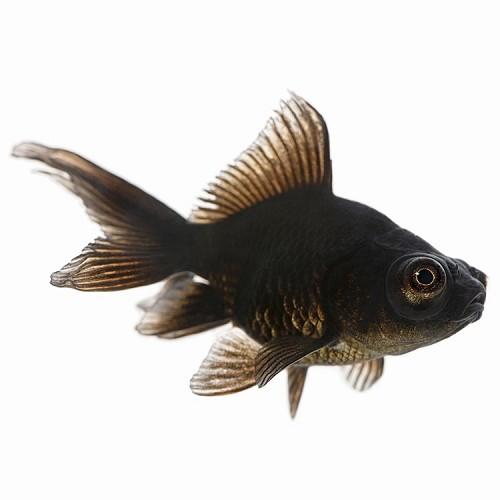 Car.auratus   Sluierstaart zwart 5-6