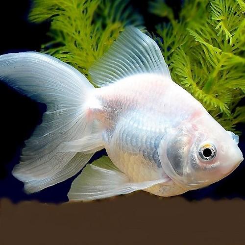 Car.auratus   Sluierstaart albino 5-6