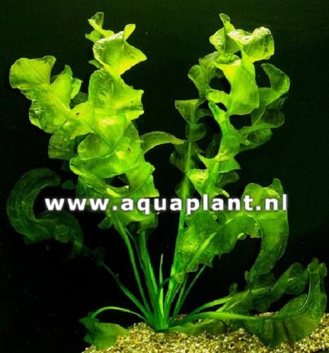 Aponegeton ulvaceus knol (G)