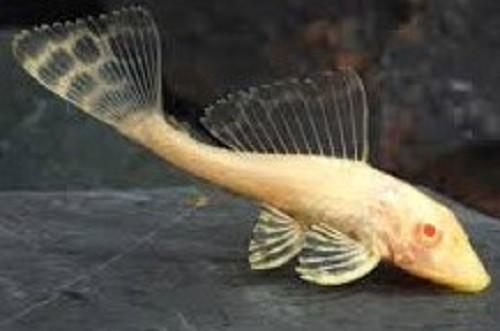 Glyptoperichthys gibbiceps albino SM