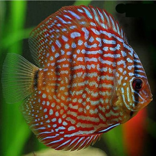 S.discus   Discus red turquoise 6-7 cm