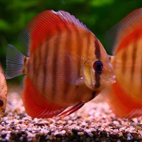 S.discus rose red 7-8 cm