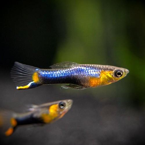 Poecilia ret.   Guppy endler blue star L