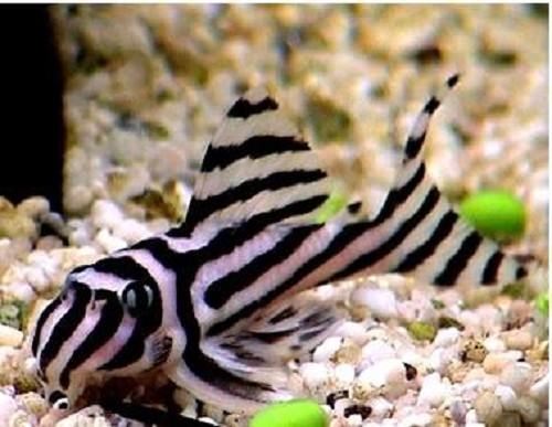 Hypancistrus zebra   Zebra pleco L046 S