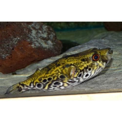Tetraodon palembangensis 10-12 cm