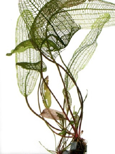Aponogeton madagascariensis knol