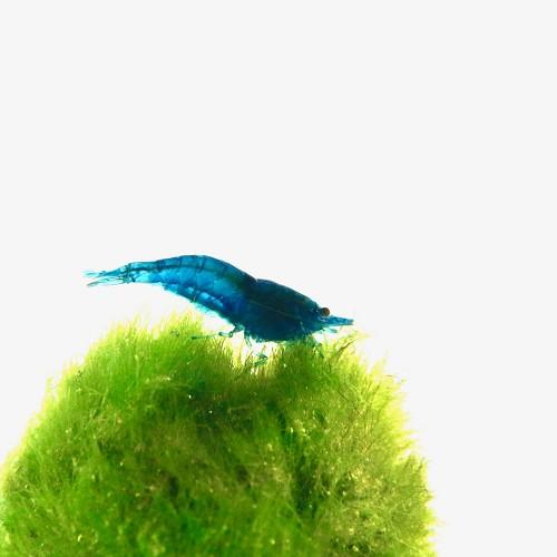 Neocaridina blue diamond shrimp #
