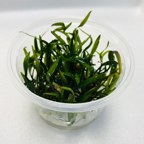 Cryptocoryne willisii in cup 100 cc.