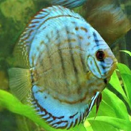 S.discus   Discus blue scorpion 7-8 cm