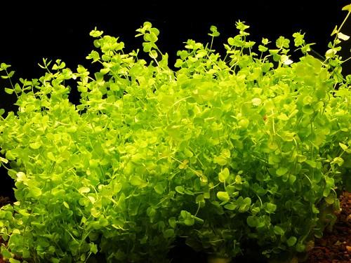 Micranthemum umbrosum in pot(C)