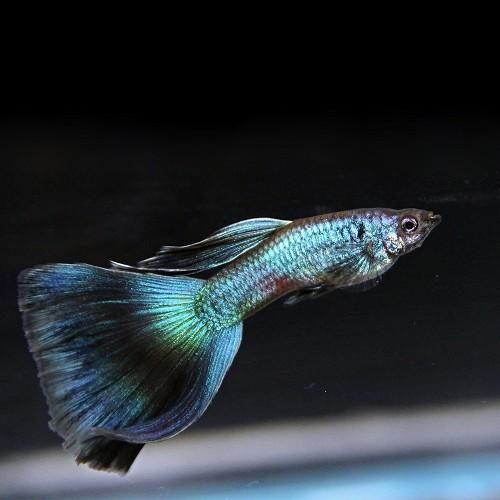 Poecilia ret.   Guppy blue moscow M