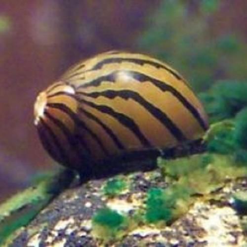 Neritina reclivata   Zebra slak
