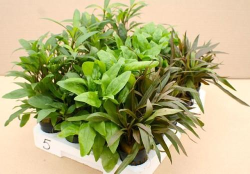 Plantenpakket Echindorus 4x5 st.