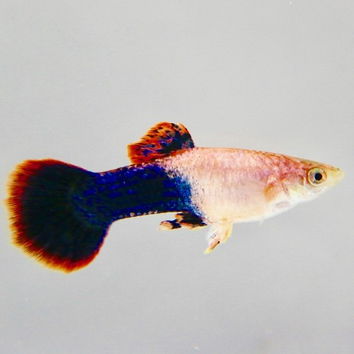 Poecilia ret.  Guppy male pink tuxedo XL