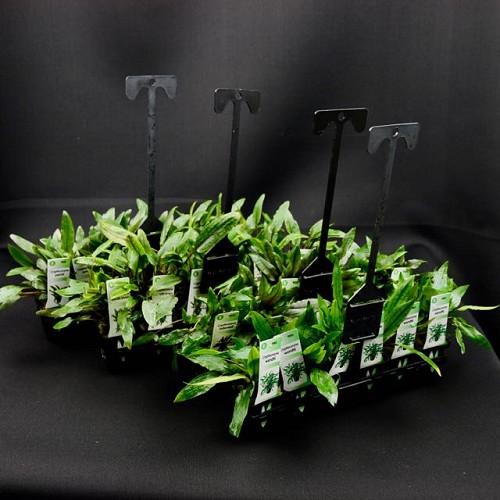 Plantenpakket Crypto 4x5 st.