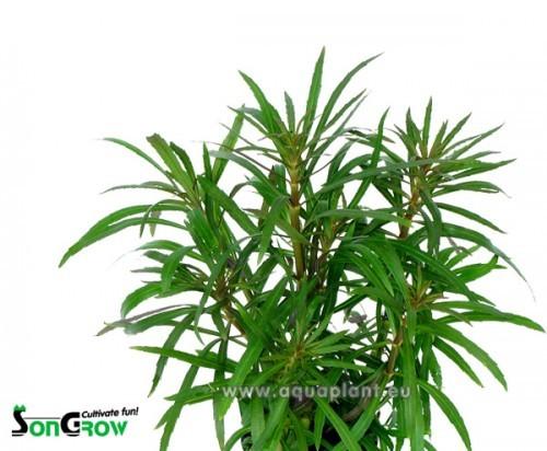 Eustralis stellata grof in pot (C-120)
