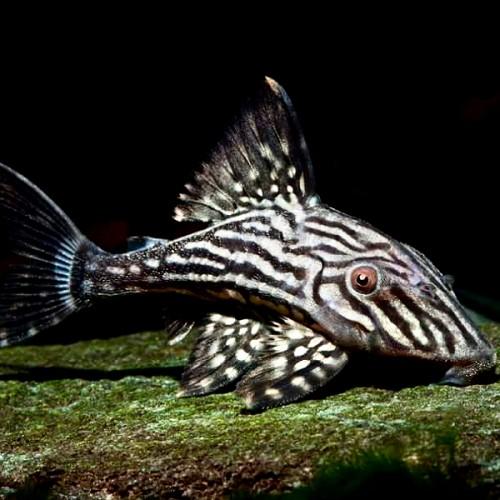 Panaque cf. nigrolineatus L330 15-18 cm@