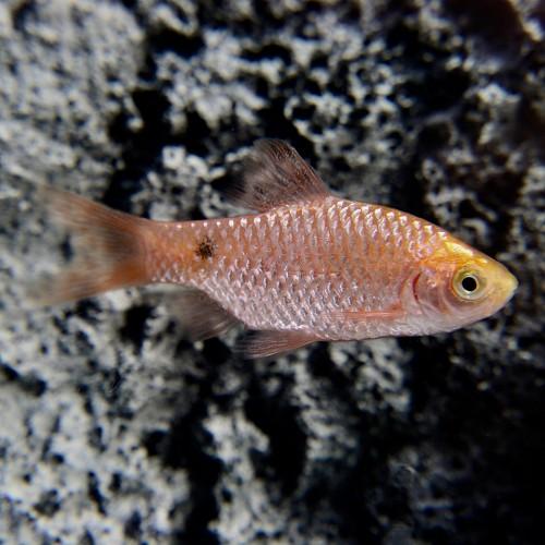 Barb.conchonius  Prachtbarbeel goud L