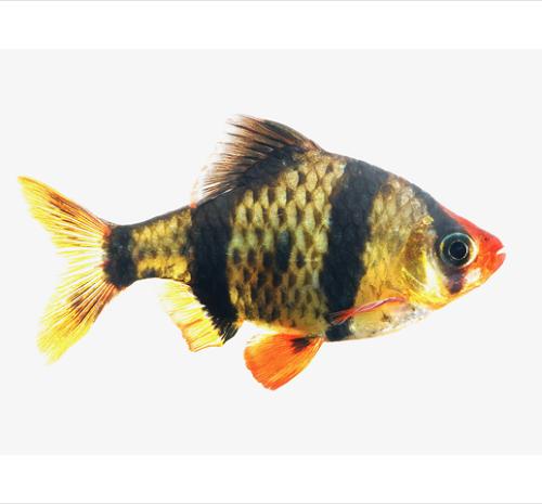 Barbus tetrazona   Sumatraan SM