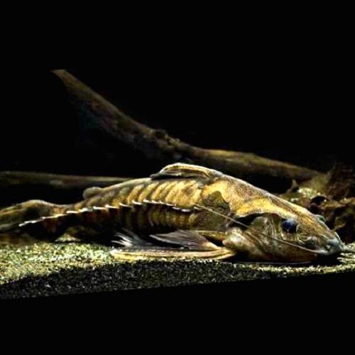 Megaladora uranoscopus 8-10 cm