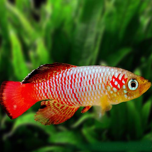 Nothobr.guentheri red   Tandkarper L