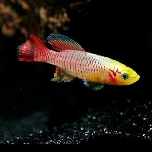 Nothobranchius guentheri gold L