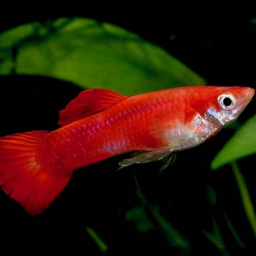Poecilia ret.   Guppy coral red  XL