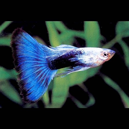 Poecilia ret.   Guppy blue metallic  XL