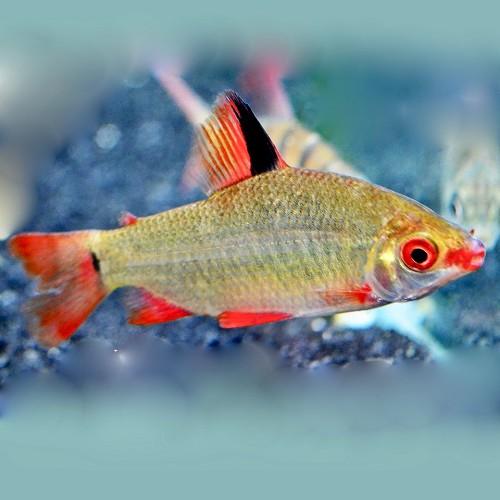 Distichodus sp.Black & Red Lefini River