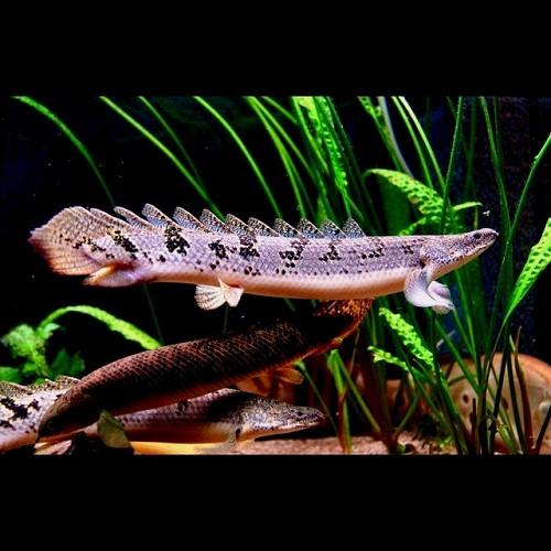 Polypterus delhezi   Kwastvinaal SM