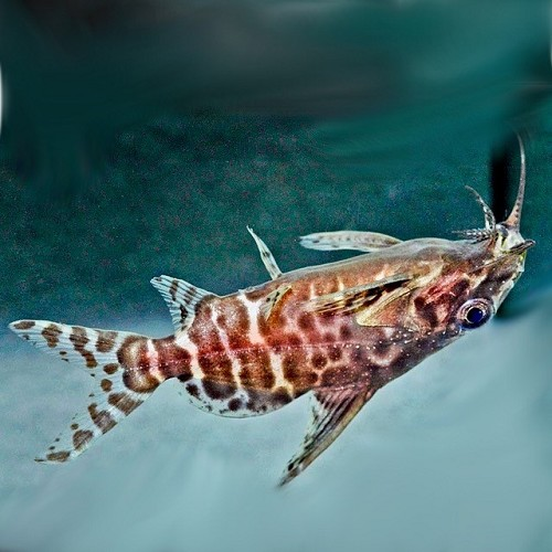 Synodontis nigriventris   Rugzwemmer M